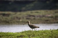 Eurasian curlew, Numenius arquata, Bhigwan, Pune district, Maharashtra, India.