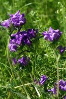Knäuel-Glockenblume (Campanula glomerata), auch Büschel-Glockenblume