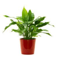 Green plant ( Peace lily - Spathiphyllum Lanceifolium ) isolated on white background.