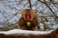 A baboon with an apple on the tree in winter
