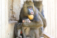 Mandrill Mom protecting her baby