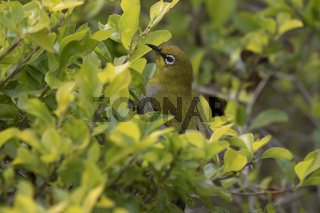 Oriental white eye who sits on the edge of the bush where she feeds