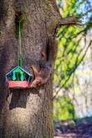 Squirrel eats from the trough. Squirrel on the tree. Red squirrel. Animal rodent