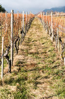 vineyard and pinot noir grapevines in late autumn