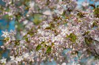 Cherry blossom or Sakura flower, early spring morning