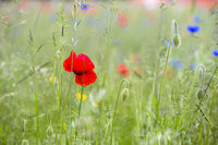Flowering poppy on a meadow