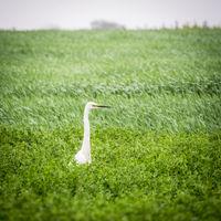 Heron on a meadow