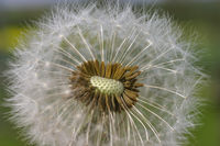 Pusteblume (Taraxacum officinale)