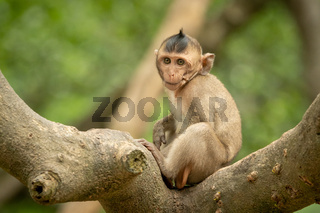 Baby long-tailed macaque on branch faces camera