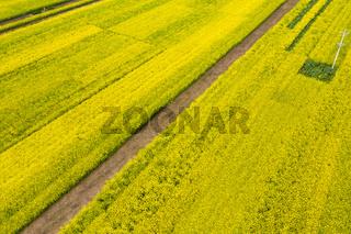 aerial view of rapeseed flower blooming