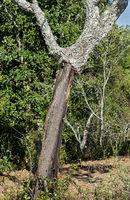 Stem of partially stripped cork oak (Quercus suber), Algarve, Portugal