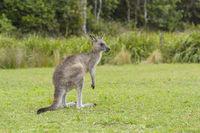 Grey Kangaroo