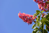 Horse chestnut tree Aesculus carnea with red blossom flower