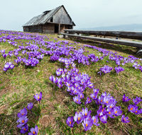 Purple Crocus flowers in spring mountain