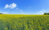 Flowering rape field reaching to the horizon
