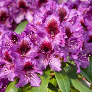 Rhododendron Hybrid Orakel, Rhododendron hybride