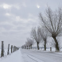 Row of Pollard Willows ( Salix sp. ) along a little road at Bislicher Insel, Germany in winter
