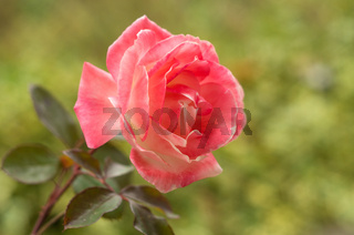 Still life in the background of a beautiful rose rose. Rose on a green background, in a garden with