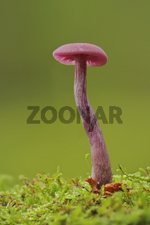 Violetter Lacktrichterling (Laccaria amethystina)