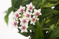 Beautiful hoya flowers isolated on white background
