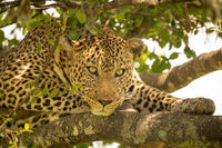 Close-up of leopard lying on leafy branches