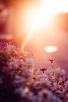 Flowers in a flowerbed pot at sunset. Beautiful flowers at sunset. Evening backlight