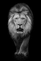 African Lion VII