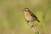 Whinchat * Saxicola rubetra * perched on top of a dry stem