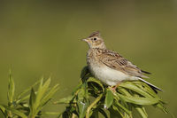 Skylark * Alauda arvensis * perched on top of a plant