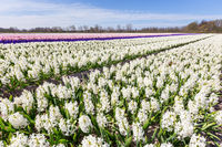 Landscape with blooming dutch hyacinth flowers