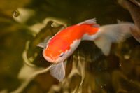 A goldfish in the water, a pond