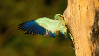 European roller feeding chicks in nest hidden in cavity of hollow tree