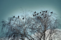 Hooded crows gathered overnight in city Park