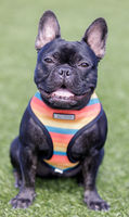 Black French Bulldog Puppy Male Sitting and Posing.