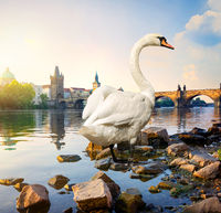 Swan on river Vltava