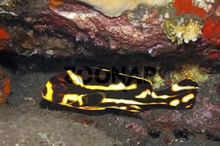 Oriental Sweeplips Plectorhinchus vittatus, juvenile fish