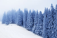 Frozen snow-covered spruce forest in fog and snowy slope