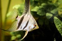 Detail of a skalar fish in aquarium