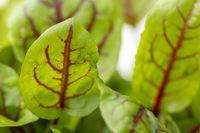 Nahaufnahme einer Sorrel-Pflanze