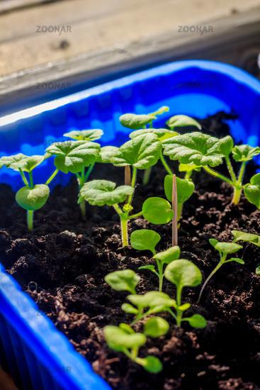 Seedlings at home on the windowsill. Preparing for the season of planting vegetables. Homemade vegetables.