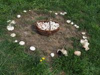 Fairy ring or fairy circle of field mushrooms with mushroom basket