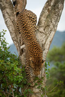 Male leopard climbs down tree by bush