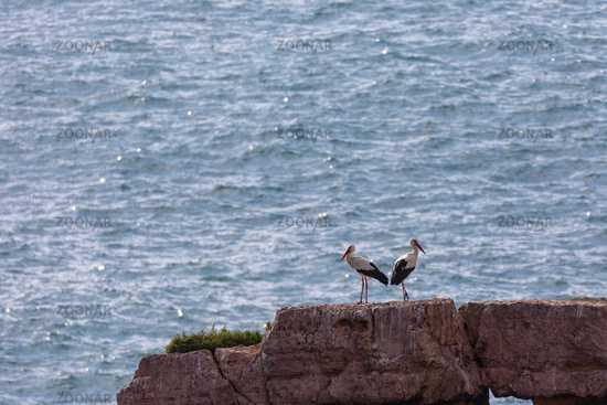 White Storks at the coast