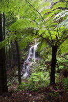 Views to waterfall through large tree ferns