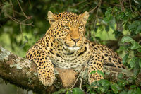 Leopard lies on lichen-covered branch looking right