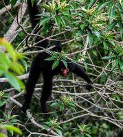 Spider monkey male swinging on the tree branch at Kanuku Mountains, Rupununi,Guyana