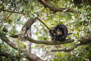 Yucatan Spider Monkey