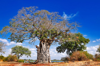 Affenbrotbaum am Abfluss des Malawisee in den Shire, Liwonde Nationalpark, Malawi, (Adansonia digitata) | monkey-bread tree at Shire River, Liwonde National Park, Malawi (Adansonia digitata)