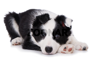 Liegender Border Collie Welpe