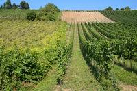 Trier - Vineyard, Germany